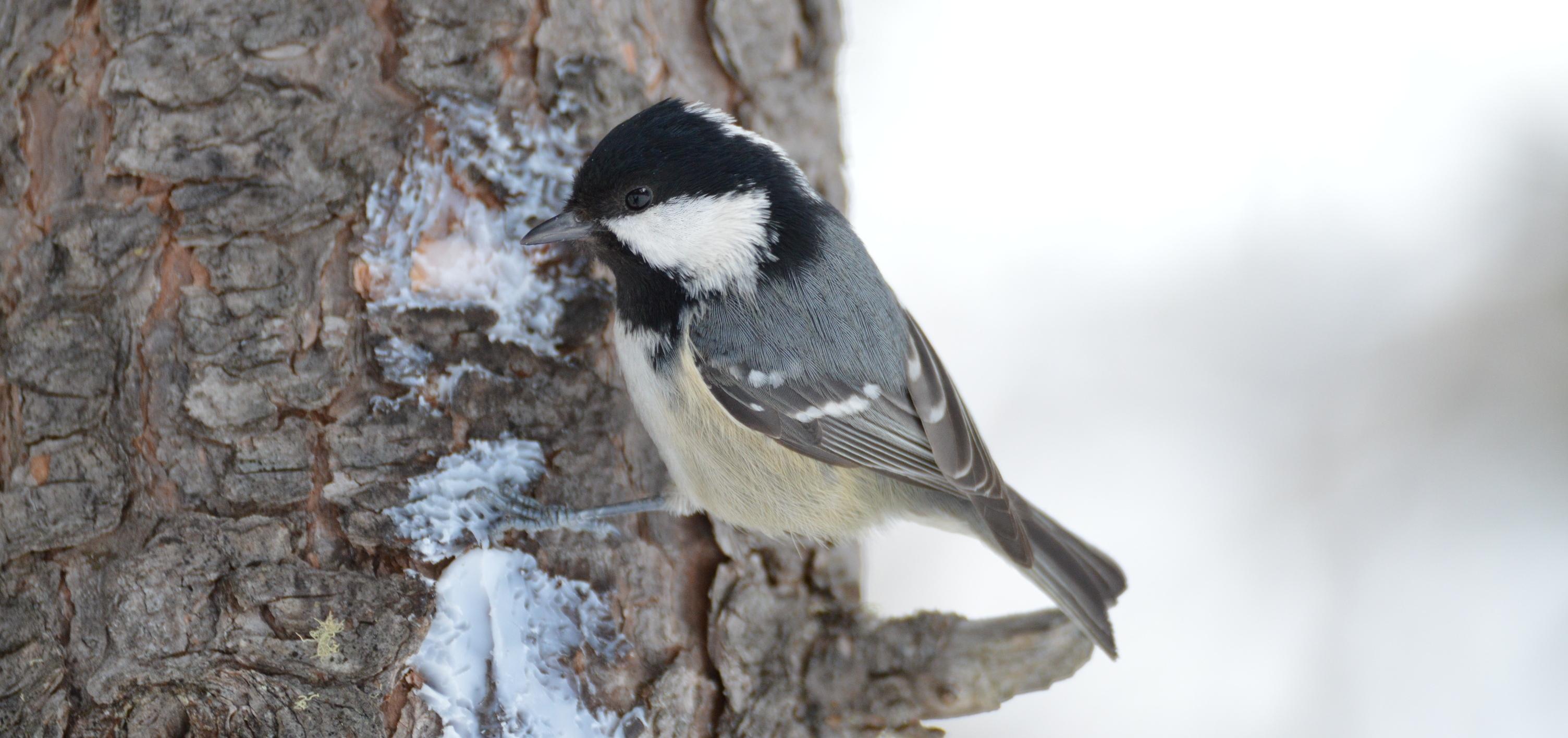Gli uccelli e l 39 inverno sezione lipu milano - Primavera uccelli primavera colorazione pagine ...